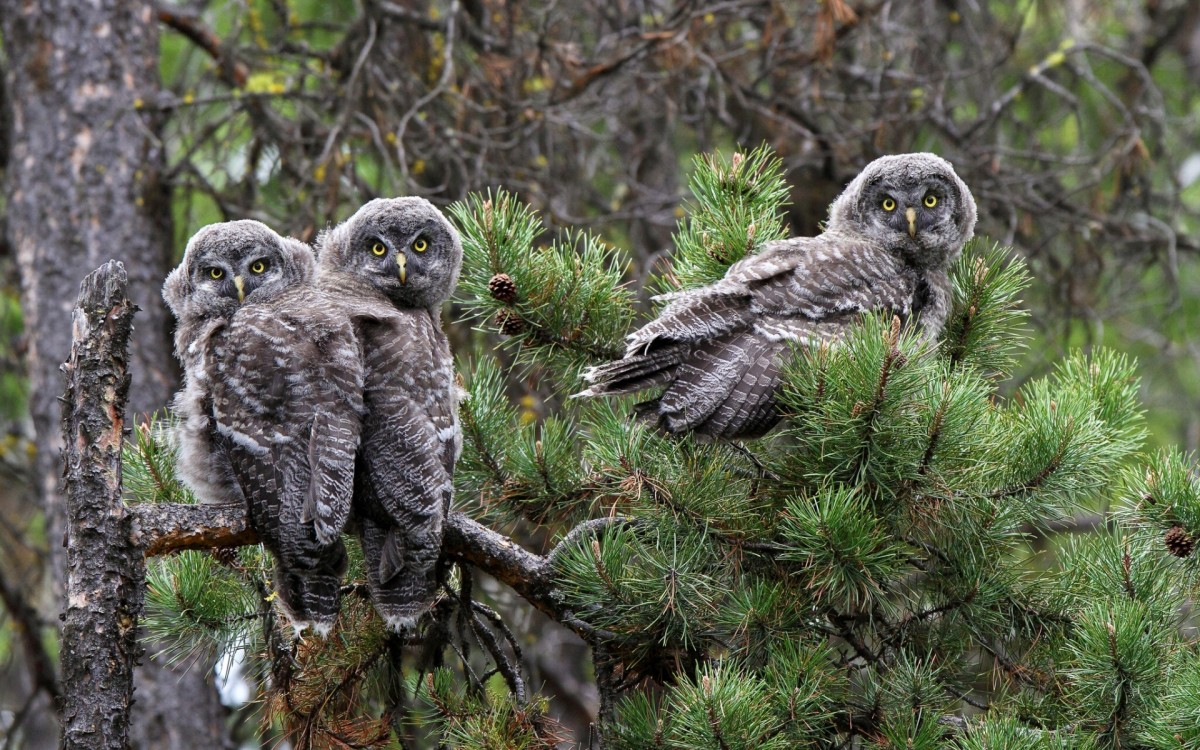 Jigsaw Puzzle Solve jigsaw puzzles online - Great grey owl