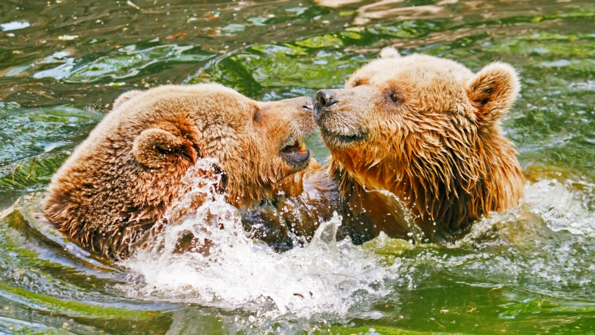Jigsaw Puzzle Solve jigsaw puzzles online - Two bears