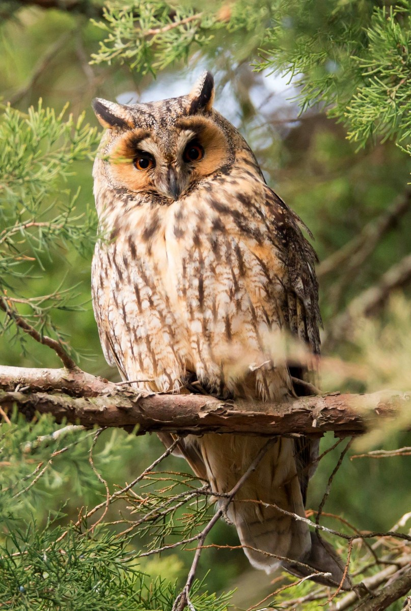 Jigsaw Puzzle Solve jigsaw puzzles online - Owl on tree