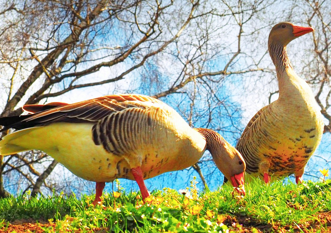Jigsaw Puzzle Solve jigsaw puzzles online - Geese