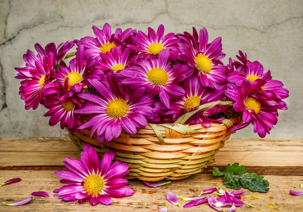 Jigsaw Puzzle Solve jigsaw puzzles online - Chrysanthemums in a basket