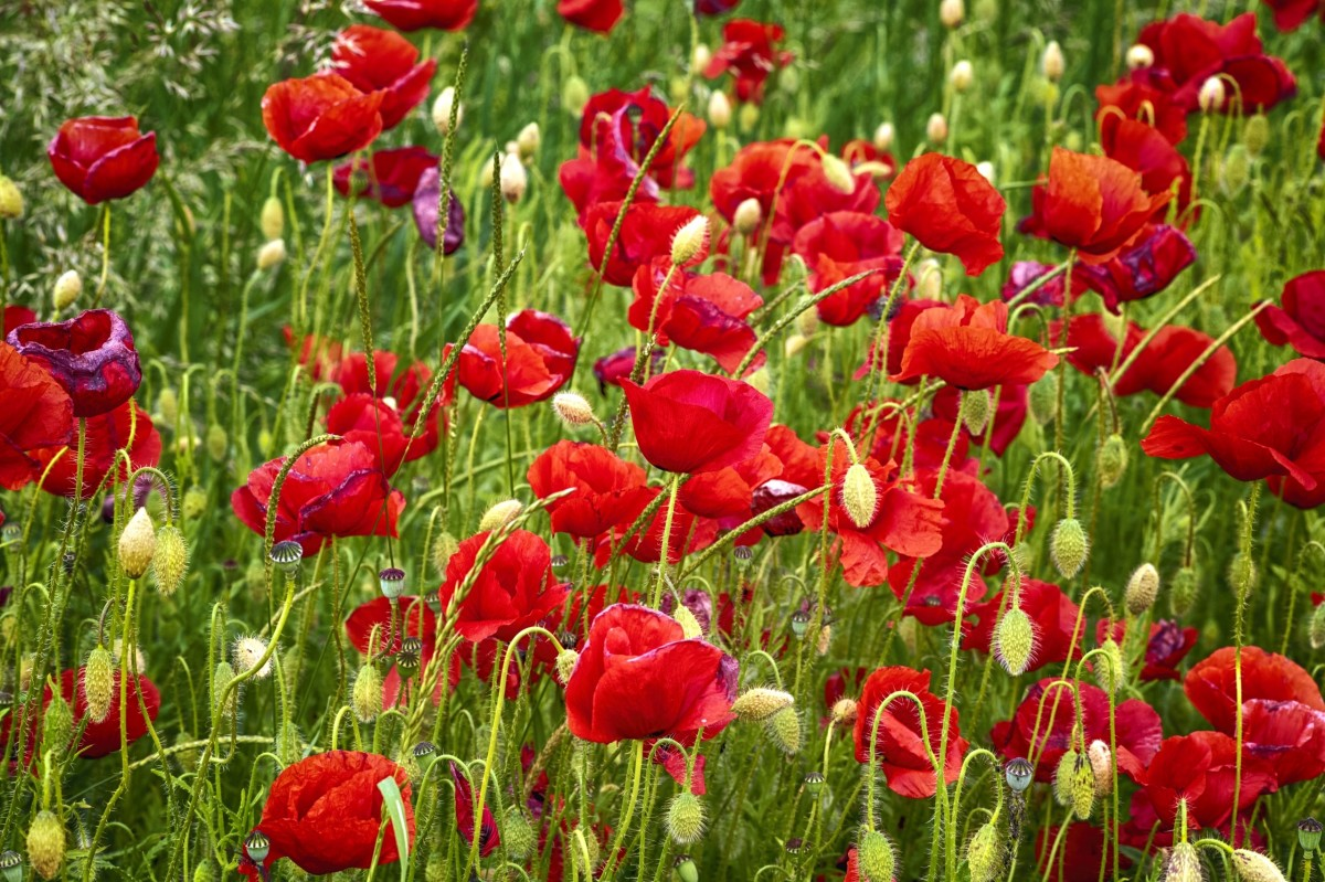 Jigsaw Puzzle Solve jigsaw puzzles online - Red poppies