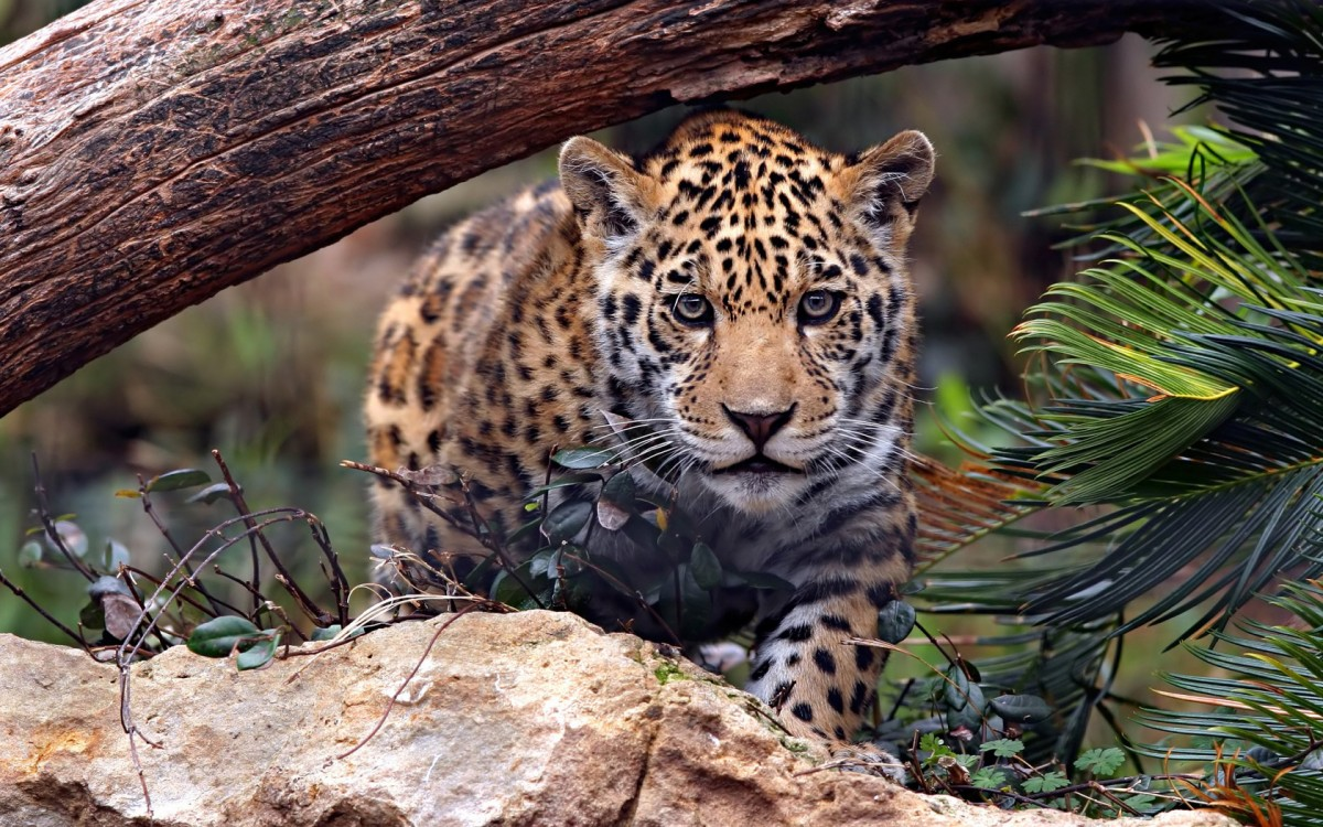 Jigsaw Puzzle Solve jigsaw puzzles online - Leopard