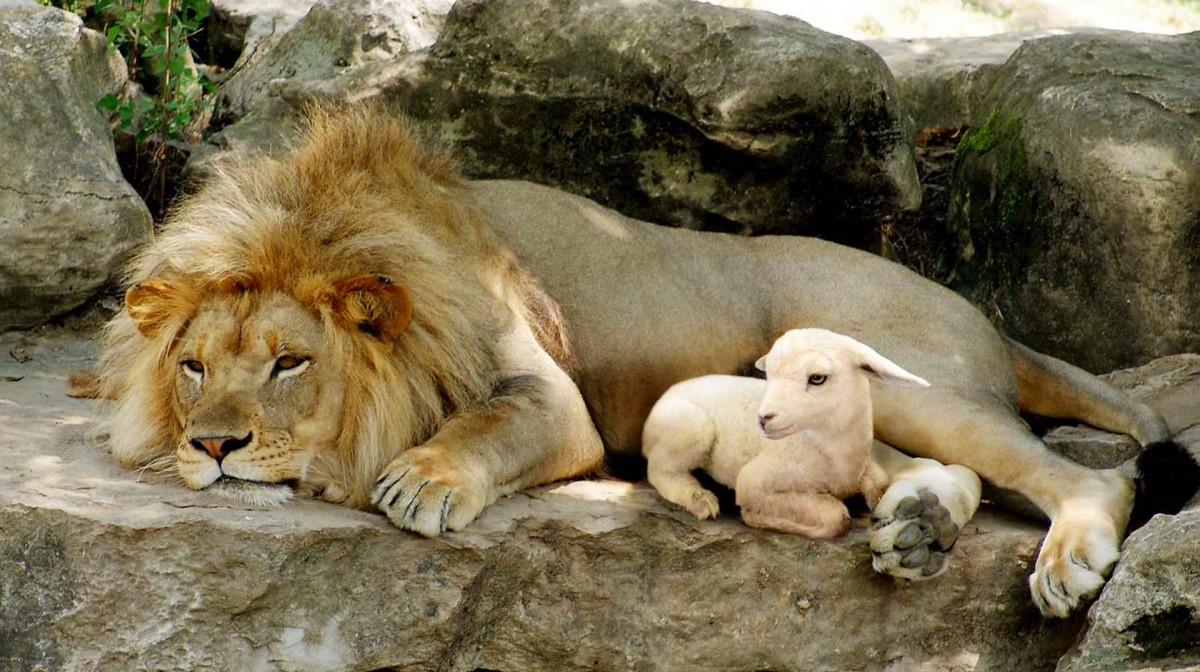 Jigsaw Puzzle Solve jigsaw puzzles online - The lion and the lamb