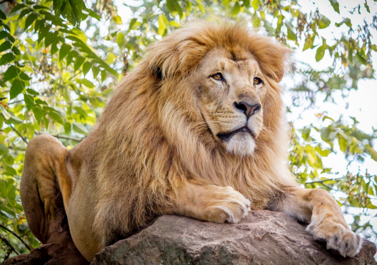 Jigsaw Puzzle Solve jigsaw puzzles online - Lion on the stone