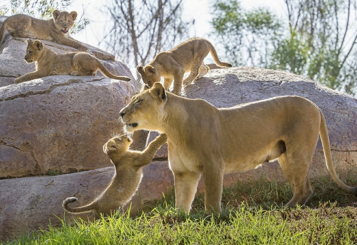 Jigsaw Puzzle Solve jigsaw puzzles online - Lioness with cubs