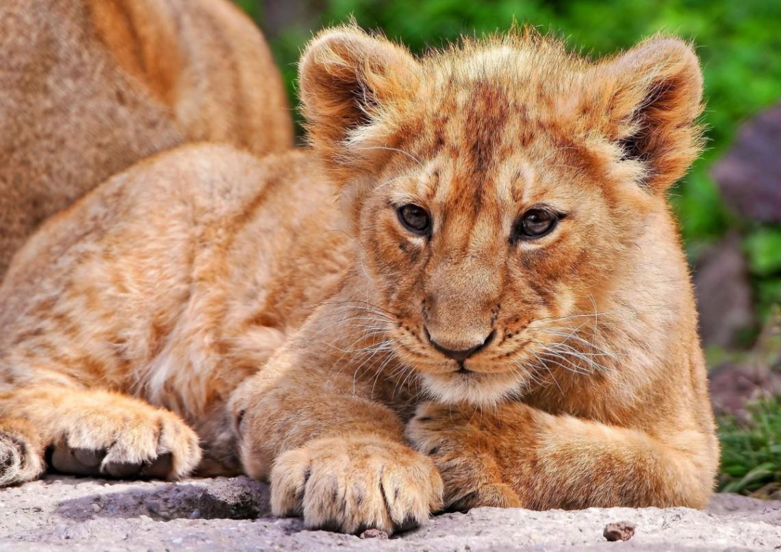 Jigsaw Puzzle Solve jigsaw puzzles online - Lion