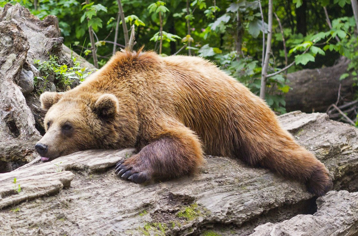 Jigsaw Puzzle Solve jigsaw puzzles online - Bear on the tree