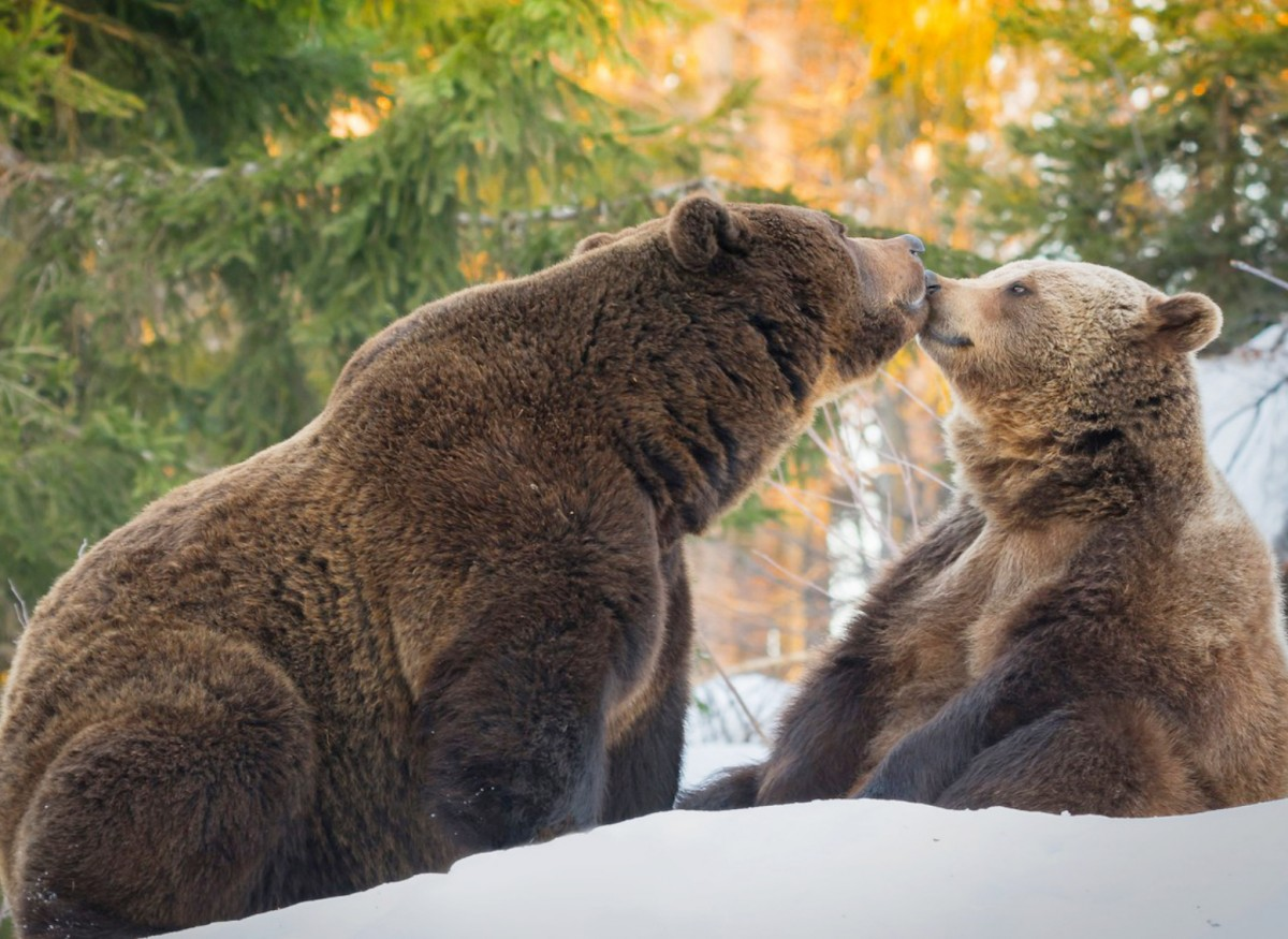 Jigsaw Puzzle Solve jigsaw puzzles online - Bears in the woods