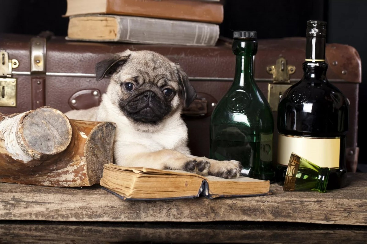 Jigsaw Puzzle Solve jigsaw puzzles online - Pug