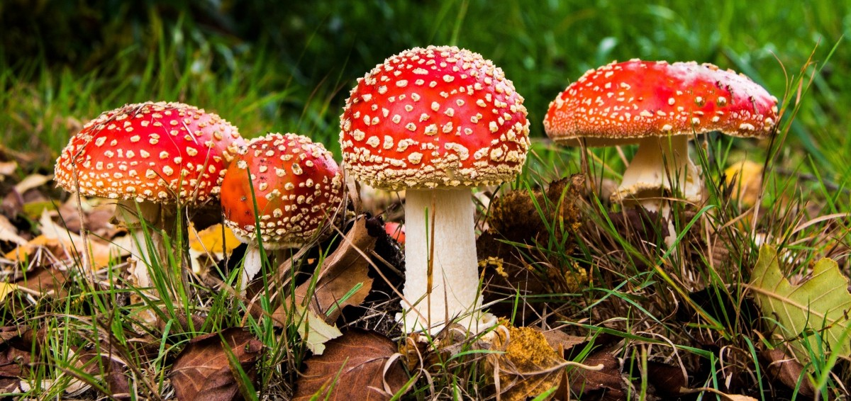 Jigsaw Puzzle Solve jigsaw puzzles online - Toadstools in the grass