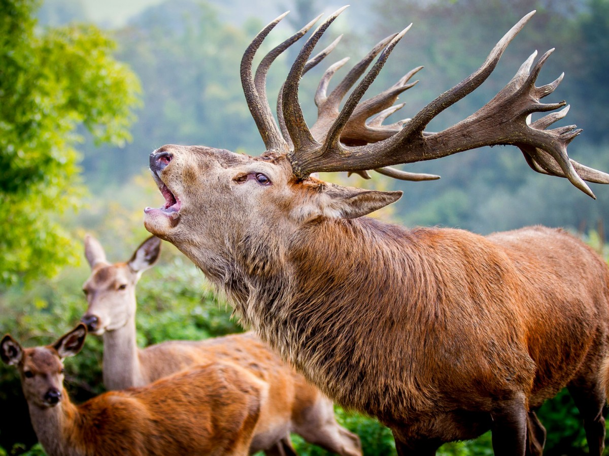 Jigsaw Puzzle Solve jigsaw puzzles online - Deer