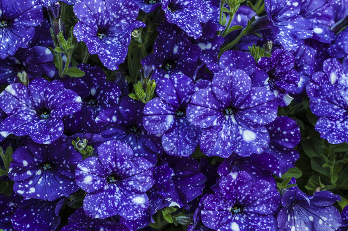Jigsaw Puzzle Solve jigsaw puzzles online - Petunia
