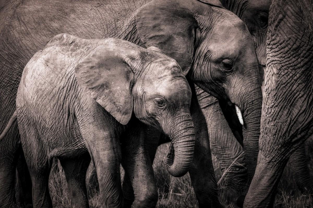 Jigsaw Puzzle Solve jigsaw puzzles online - Grey elephants
