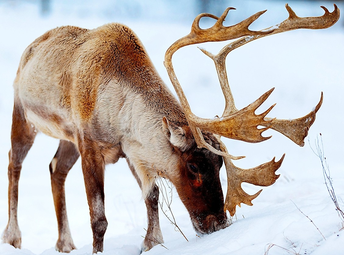 Jigsaw Puzzle Solve jigsaw puzzles online - Reindeer