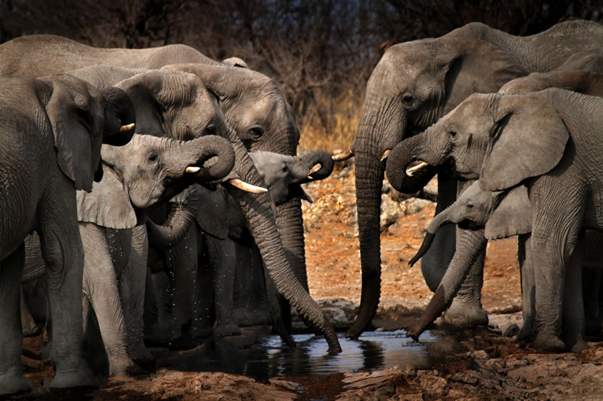 Jigsaw Puzzle Solve jigsaw puzzles online - Elephants at the watering