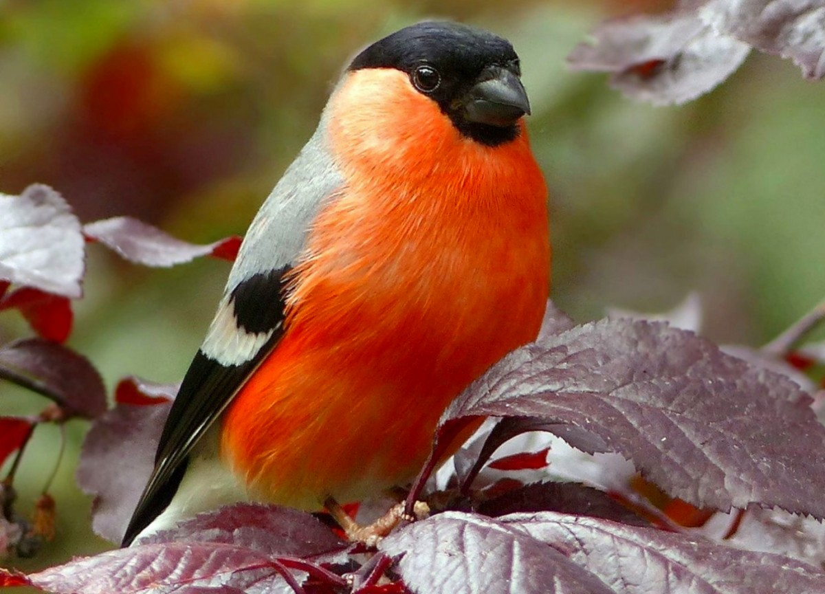 Jigsaw Puzzle Solve jigsaw puzzles online - Bullfinch