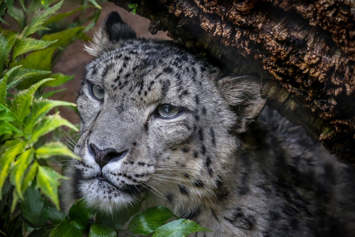 Jigsaw Puzzle Solve jigsaw puzzles online - Snow Leopard