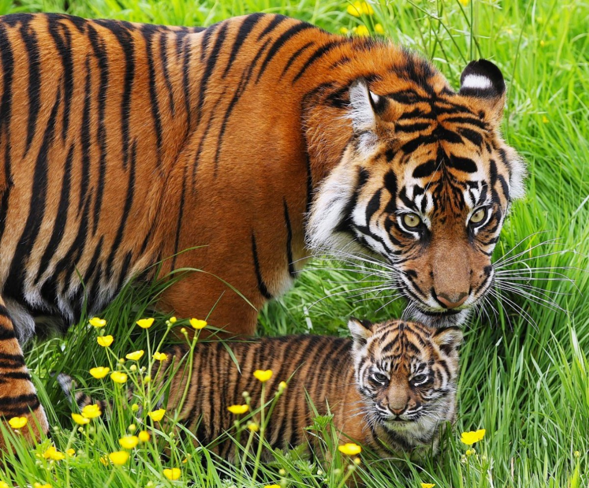 Jigsaw Puzzle Solve jigsaw puzzles online - Tigers in the grass