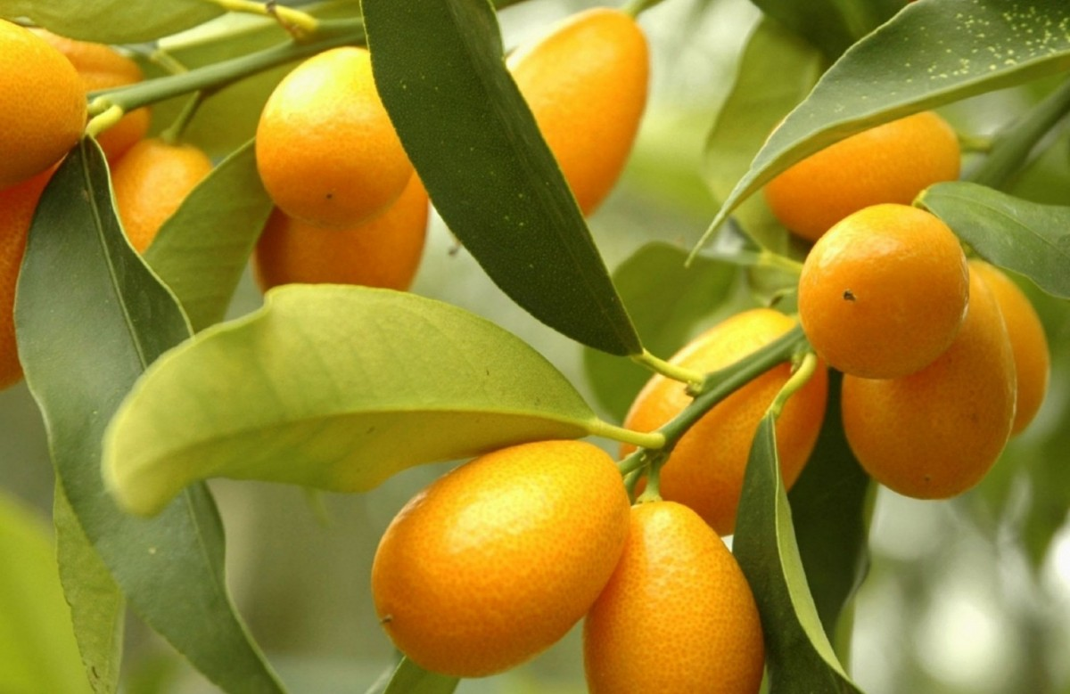Jigsaw Puzzle Solve jigsaw puzzles online - Citruses on the branches
