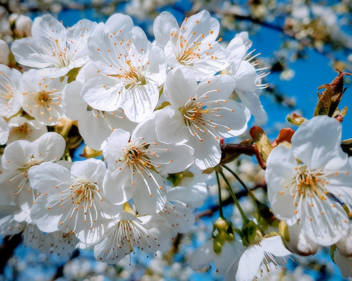 Jigsaw Puzzle Solve jigsaw puzzles online - The cherry blossoms
