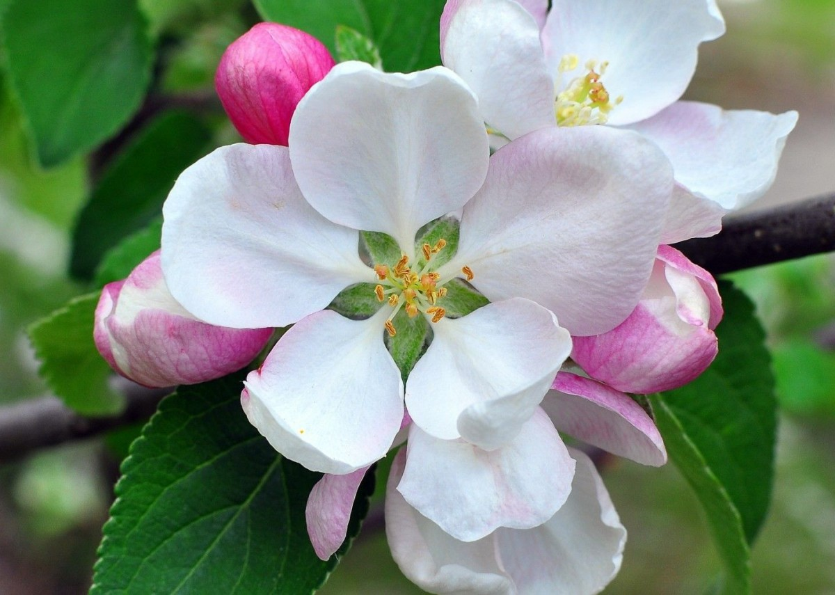 Jigsaw Puzzle Solve jigsaw puzzles online - Apple blossoms