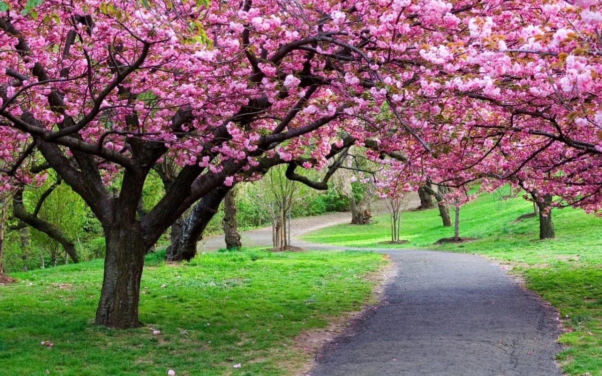 Jigsaw Puzzle Solve jigsaw puzzles online - Cherry blossoms
