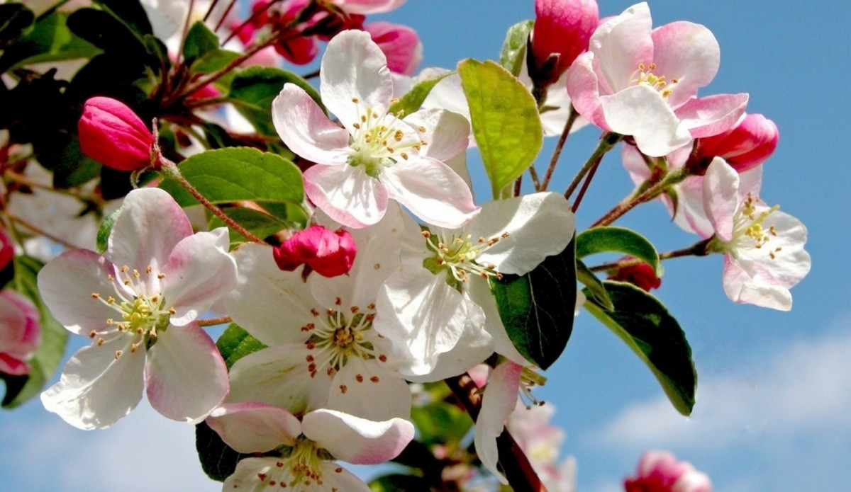 Jigsaw Puzzle Solve jigsaw puzzles online - Spring Apple tree