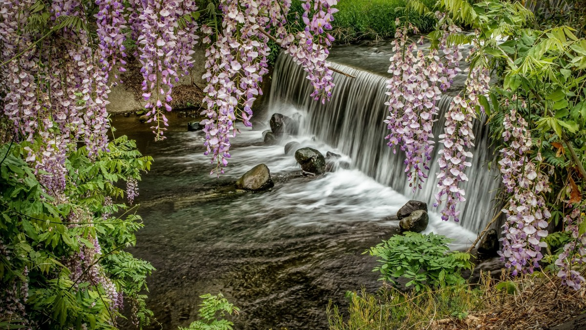Jigsaw Puzzle Solve jigsaw puzzles online - Waterfall and Wisteria