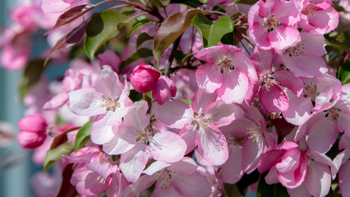 Jigsaw Puzzle Solve jigsaw puzzles online - Apple tree in bloom