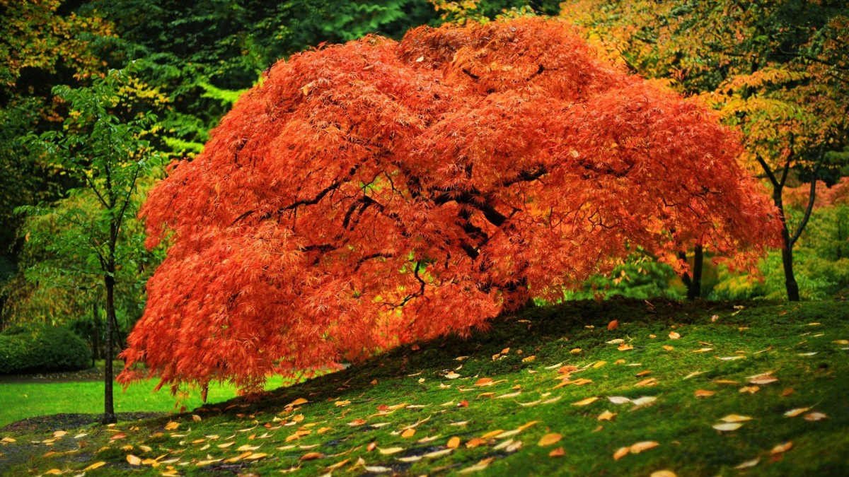 Jigsaw Puzzle Solve jigsaw puzzles online - Japanese maple
