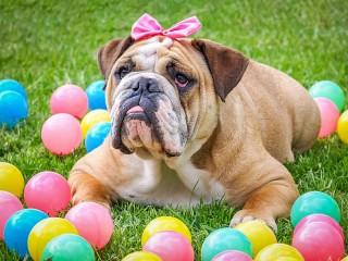 Собирать пазл English bulldog онлайн