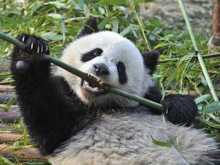 Собирать пазл The bamboo-eating pandas онлайн