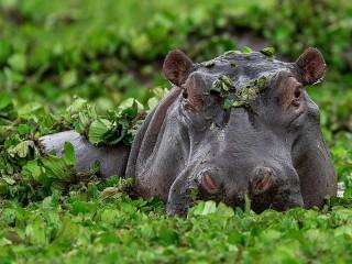 Собирать пазл Hippo онлайн