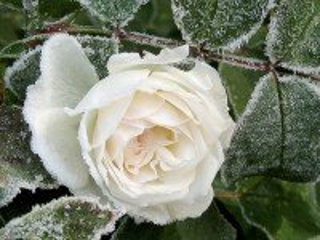 Собирать пазл Belaya roza v inee онлайн