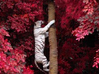 Собирать пазл White tiger онлайн