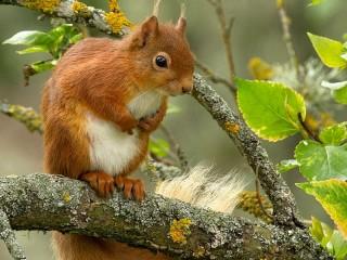 Собирать пазл Squirrel on the tree онлайн