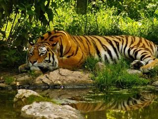 Собирать пазл Bengalskiy tigr онлайн
