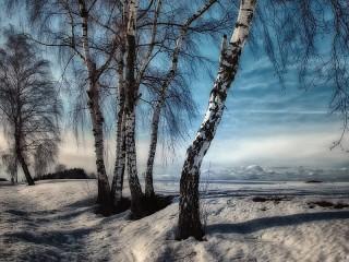 Собирать пазл Birch in winter онлайн