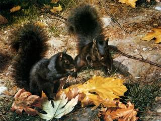 Собирать пазл Black squirrels онлайн