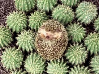 Собирать пазл Hedgehogs онлайн
