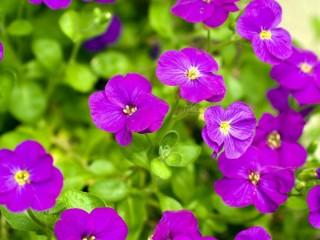 Собирать пазл Violets онлайн