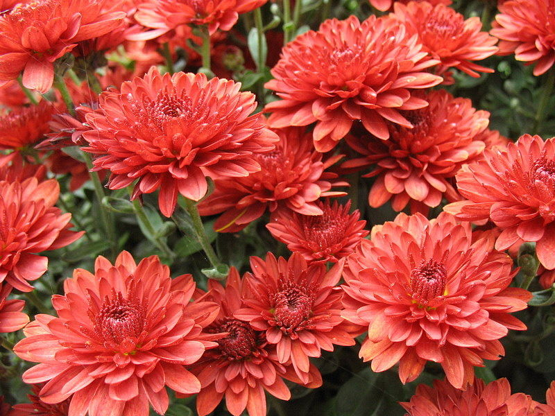 Jigsaw Puzzle Solve jigsaw puzzles online - Red chrysanthemums