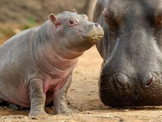 Собирать пазл Hippos онлайн