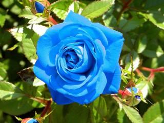 Собирать пазл Golubaya roza онлайн