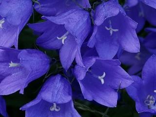 Собирать пазл Blue bells онлайн