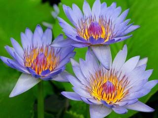 Собирать пазл Blue Lily онлайн