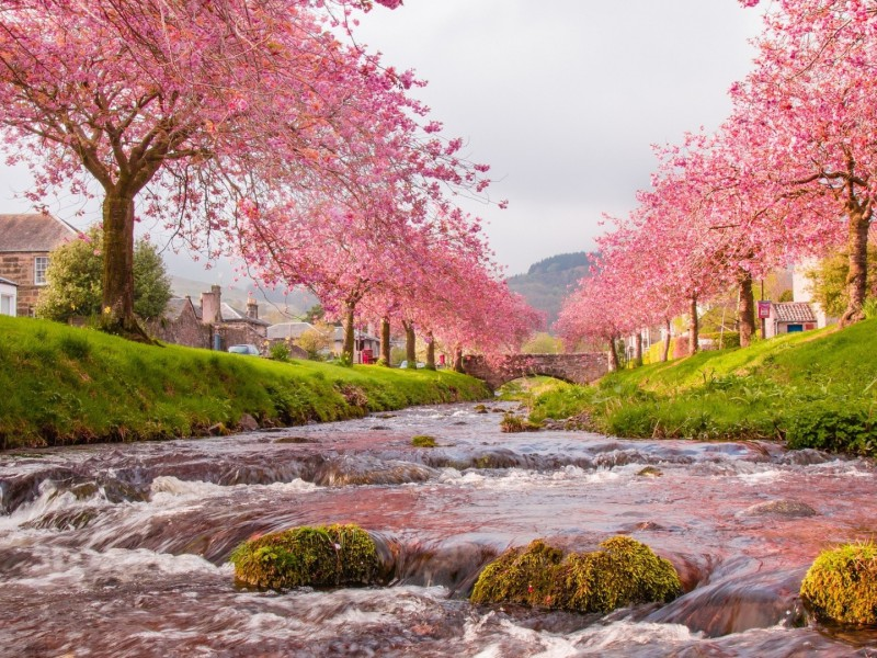 Jigsaw Puzzle Solve jigsaw puzzles online - Sakura blossoming