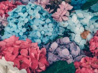 Собирать пазл Hydrangea онлайн