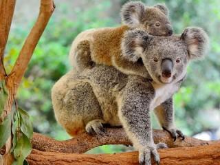Собирать пазл Koala on a branch онлайн